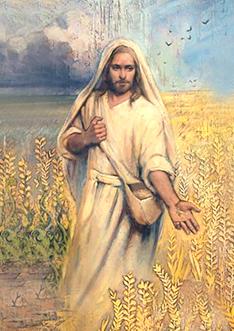 Bông lúa trĩu hạt (13.6.2021– Chúa Nhật 11 Thường niên B)
